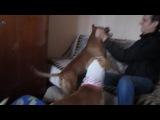 Ужас бойцовая собака напала на своего хозяина! (слабо нервным не смотреть)