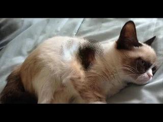 Tard the grumpy Cat (images) - Tard el gato gruñón (imagenes) - Tard il gatto scontroso (foto)