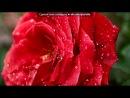 «Алые розы.» под музыку Виктор Королёв - Алая роза. Picrolla