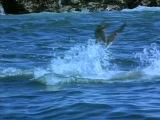 5 of 8 - / Жизнь животных - Плотоядные: Большая белая акула /The Wildlife Specials:/ 1997
