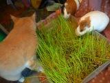 Свинки Вики и Шуня трапезничают вместе с котом Кузей