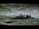 Анаконда против крокодила. Редкие кадры.