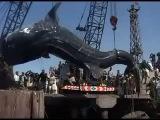 Самая большая китовая акула в мире