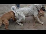 Собачьи бой Тобет против двух питбулей