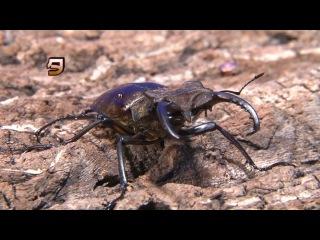 Жуки - самые крутые рестлеры в мире насекомых