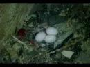 Сакские яйца судьбы или Ювика иички.