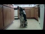 Попал в книгу рекордов Гинеса, как самый умный пес!