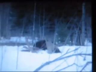 Росомаха против волков и медведей