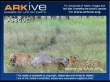 Охота гепарда на антилопу гну