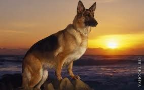Немецкая овчарка)Моя любимая собака))