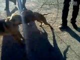 собачьи бои питбуль VS дворняга