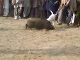 Собачьи бой Гуль донг vs Кабан