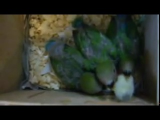 Птенцы розовощёких неразлучников в гнезде
