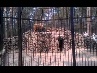 Львы, как и все кошки тоже не любят воду)
