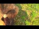 Собачьи бои 36 кг бангдог vs 59 кг тибетский мастиф
