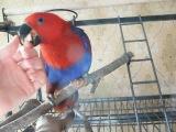 Мой попугай Эклектус Соломоновых островов. Рита