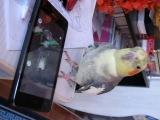 Попугай разговаривает с телефоном