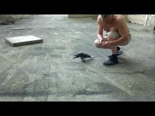безбашенная ворона