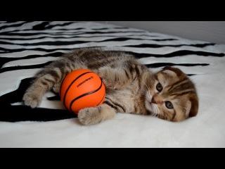 Шотландский вислоухий котенок (девочка), окрас: b22 шоколадный мрамор