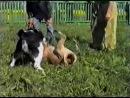Туркменский Алабай vs Бульмастиф