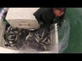Кастинговая сеть. 500 фунтов рыбы в два заброса!
