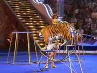 Цирк со звездами. Ирина Лачина. Дрессура с тигром