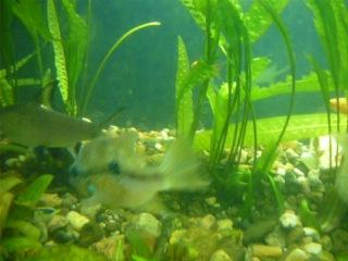 рыбки целуются раз