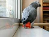 Мой попугай Гриша  поет