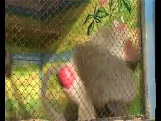 Заводная обезьяна:D