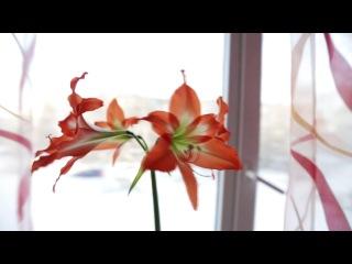 Сегодня 31.12.2012 распустился последний, четвертый бутон цветка на моем окне. Ну я и снял про него видео.