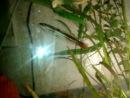 Красный змееголов (молодь) и малек чернополосой