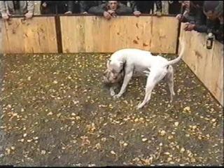 Собачьи бои аргентинский дог vs матчевый питбуль