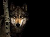 Виталий Аксёнов-Волчье солнце (Мои любимые волки!)