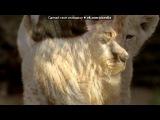 «Львы» под музыку Король лев - Нынче ты узнал любовь. Picrolla