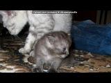 «Мои коти!» под музыку Тимур Мацураев - Твоя нежная походка. Picrolla