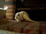 Попугай нимфа-корелла и кролик барашек