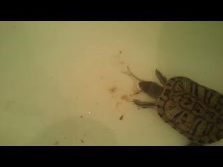 Кто сказал, что черепахи едят адуванчики?))))))