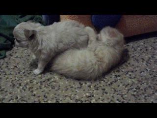 Кошка и собака лучшие друзья на веки(P.S. масяня и чихуахуа))