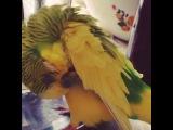 Попугай Гриша говорит
