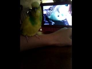 попугаи говорят по скайпу