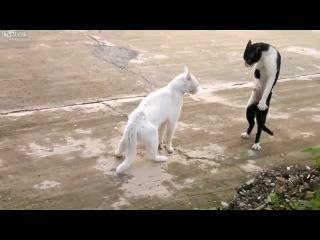 Cмешные коты. Сумасшедший кот-каратист.mp4