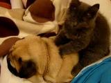 Кот Перри делает массаж мопсу Тоби :)