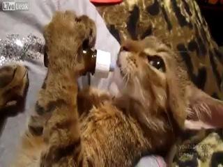 Забавный котик пьет детское молоко