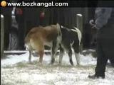 собачьи бои алабаи Video Jebis vs Tohmet