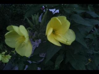Вот так распускается Лунный цветок или Цветок любви! Начинает распускаться в 21-00 и примерно 21-15 уже расцветает!