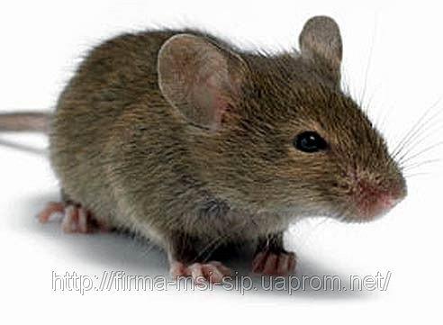 мышка норушка картинки
