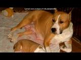 «Предлагается к продаже щенок амстаффа от Сербского кобеля!!!» под музыку cici cetch - Вот качество!!!&#