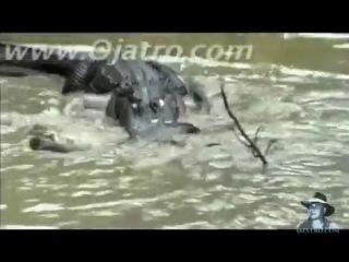 анаконда и крокодил(впечетляющая схватка)-