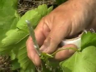 зелёная прививка винограда. Говорухин