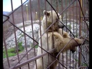 Медведь стесняется и танцует (( прикол  про   Тимофея ))
